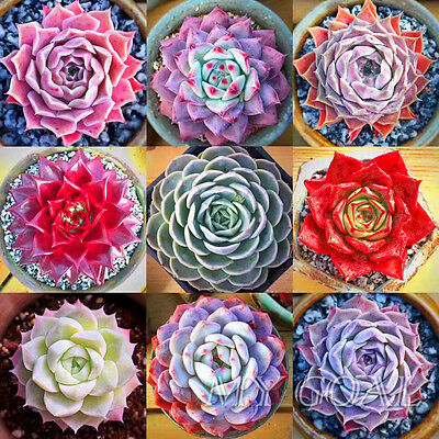 Sempervivum Cyclops Exotic Echeveria Succulent Seeds Cactus Stone Lithops New