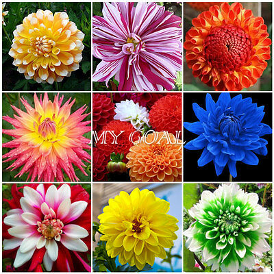 200Pcs Dahlia Unwins Mix Seeds Minimum Semi Double Colourful Garden Flower Dwarf