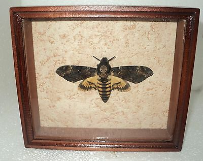 Real moth framed DEATH'S HEAD in the movie silence of the lambs! Personal work!!