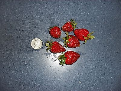 5 Ozark strawberry living rooted plants. everbearing zones 4-9. Not Dormant.