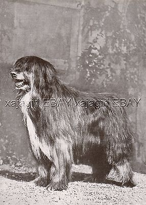 DOG Bearded Collie Champion (Named), Vintage Print 1930s
