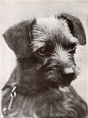 DOG Border Terrier Dog Champion Portrait, Named, Vintage Print 1930s