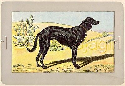 DOG Saluki Persian Greyhound, Rare Antique 100-Year-Old French Dog Print