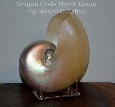 "7""- 8"" WHITE Nautilus Shell White Pearl with Stand Whole Beach Seashell"