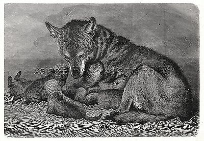 Wolf Mother & Puppies, SHe-Wolf Nursing, 1880s Antique Print