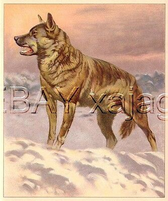 Wolf on Tundra, Large Antique 1890s Print - Amazing!