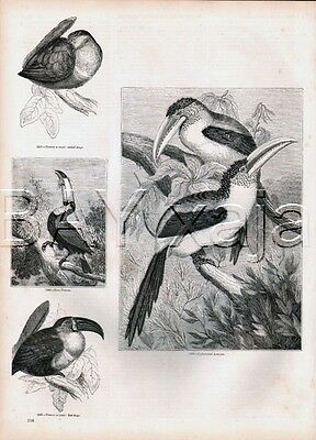 BIRD Toucan Four Breeds, Lovely Antique 1840s Print