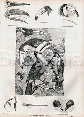 BIRD Toucan Types, Lovely Antique 1840s Print