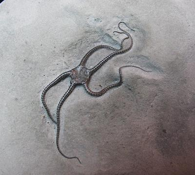 NSF- Brittle Starfish Ophioderma Egertoni fossil Eype 2