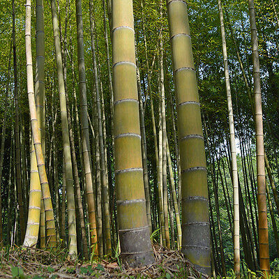 Giant Moso Bamboo Hardy Plant -Pubescens Phyllostachys edulis - Viable Seeds -UK