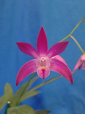 THG Orchid DENDROBIUM Colonial Surprise x Aust. Rose-Beauty IN FLOWER