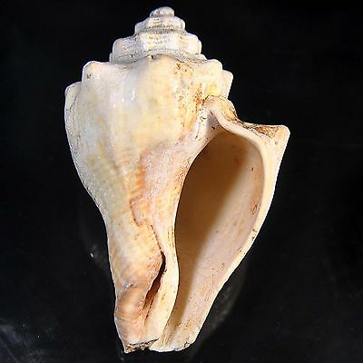 295.00 cts Queen Conch sea shell 81X52 mm Big size beach house cottage decor