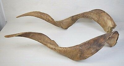 Markhor Huge Pair Wild Mountain IBEX Twisted Horned Goat Ram TAXIDERMY Horns