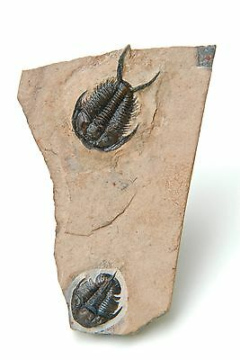 Tricepicephalus + Geneveviella Combination Cambrian  Weeks Formation Utah Usa
