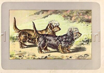 DOG Dandie Dinmont Terrier, Rare Antique 100-Year-Old French Dog Print