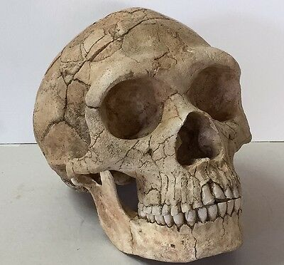 Neanderthal Forbes' Quarry Skull Replica 1:1 size