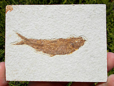 Fossil Fish - Knightia - Eocene age - Green River formation. RefVN.KN2 fossils