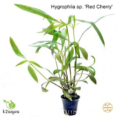 Hygrophila sp. 'Red Cherry' Live Aquarium Plants Aquascaping Tank Nano EU