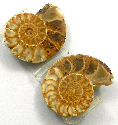 3.50GM Attractive 1Pair NATURAL AMMONITE FOSSIL 16x20MM natural shape gemstone
