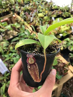 Nepenthes maxima x talangensis 'Lady Pauline'