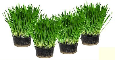Cat Grass x 4 containers - Easy Grow your own kit - UK Seed - Indoor Kitty Grass