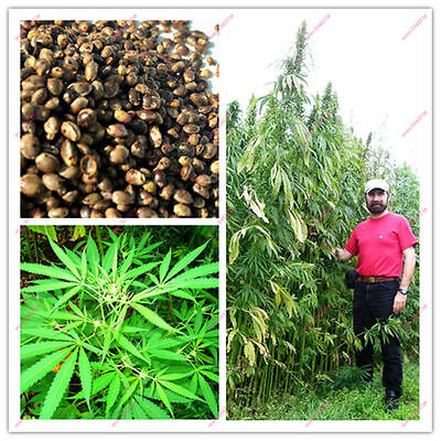 500 to 1000 Pcs Hemp seeds (Canabis Sativa) raw organic. Get $10 OFF or MORE !