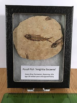 Genuine Fossil Fish 'Knightia Eocaena' Museum Style Mount Included
