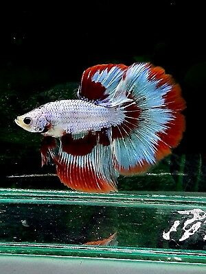 Betta Half Moon Red white male From Thailand