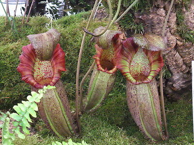 Rare seeds » Nephentes ´ Tanaman Rajah ´ -Giant nephentes of Indonesia - 5 seeds