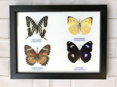 4 Framed Butterflies Taxidermy Insect Wooden Picture Frame Genuine Specimens Bug