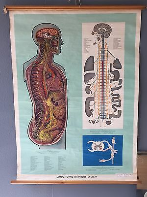 Vintage Retro Nervous System Anatomical Medical Adam Rouilly Pull Down Chart