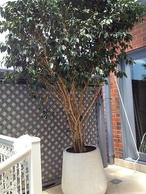Large Ficus Tree With Pot