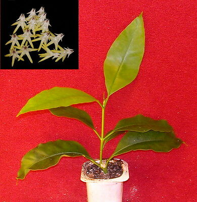 hoya multiflora - bouture racinée / rooted cutting - 10 cm