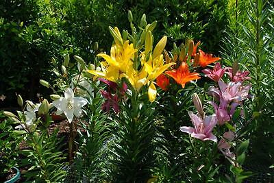 Lilium Bulbs, Baby Mix - 20 small bulbs