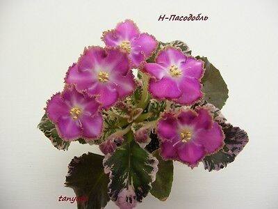 African Violet@N- Pasodobl@NEW!! @HIT!!!@variegated@seminimini@LEAF@Russian V.