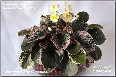 African Violet @Kentucky Baby Sunshine@YELLOW@mini@LEAF@