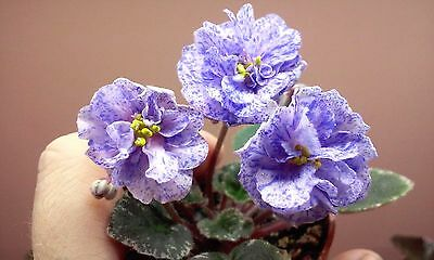 African Violet @Rob's Kaleidoscope@mini@leaf@