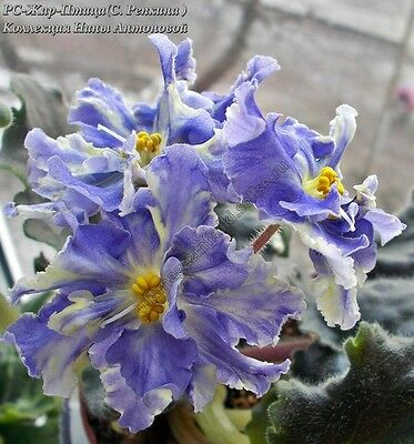 African Violet @RS - Zar Ptica@leaf@Russian/Ukrainian Variety@