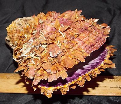 "SPONDYLUS LIMBATUS - 150mm / 5 7/8""- GOLDEN COLOR - F+++ - FRESH - SEA OF CORTEZ"