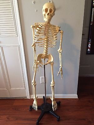 4 ft Life Size Human Anatomical Anatomy Skeleton Medical Model Without Stand