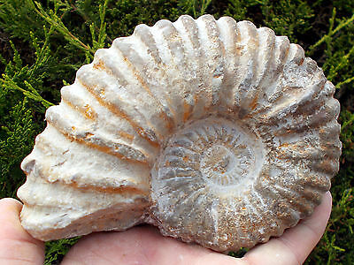 Large Fossil Ammonite - Acanthoceras - Cretaceous age - Morocco. Ref:GMB#2