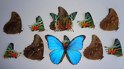 Ten Real Butterfly Unmounted **art Work A1 Perfect Condition Wings  Closed