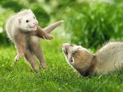 Two Ferret Playing in Garden
