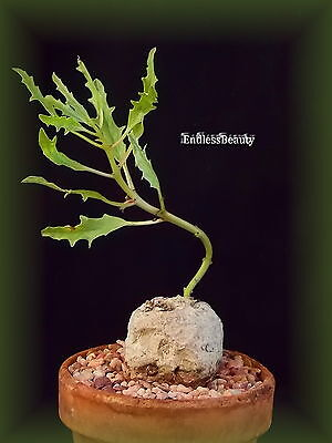 Pretty and rare Pterodiscus Speciosus  Plant / Caudex  Succulent / Bonsai