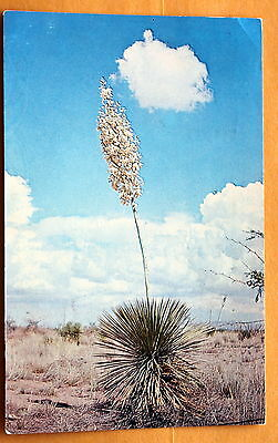 Yucca  New Mexico State Flower Vintage used postcard