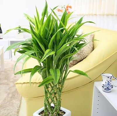 50pcs 100% Genuine Rare  Lucky-Bamboo seeds Anti Radiation Absorb dust tree seed