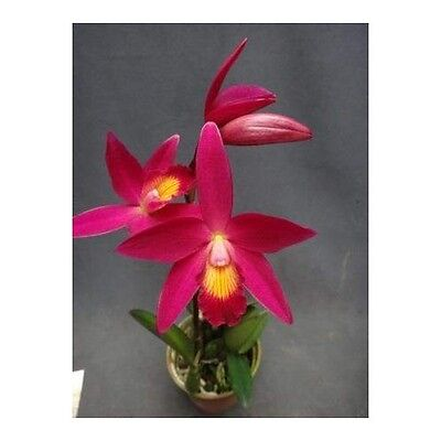 Cattleya Chian Tzy Guiding Pot Plant Rare Exotic