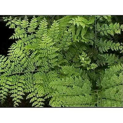 July - August Fern Collection Pot Plant Rare Exotic