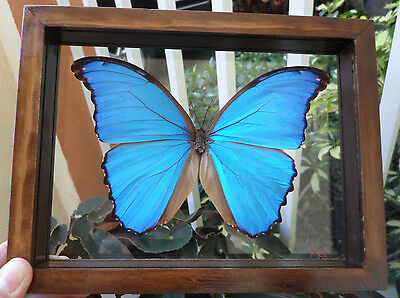 """Real Framed Butterfly Blue Peruvian Morpho Didius Mounted Double Glass 6.5""""x7.5"""""""
