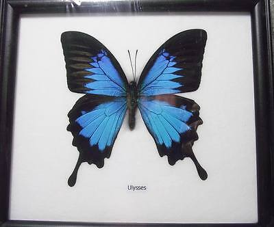 Real Blue Papilio Ulysses Butterfly Insect Taxidermy Morpho Peruvian Framed 1